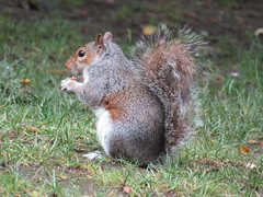 IMG_1910 happy squirrel likes the peanuts (belight7) Tags: park nature uk england love life