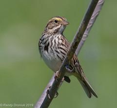 Savannah Sparrow Grass Lake (rdroniuk) Tags: birds passerines sparrows savannahsparrow passerculussandwichensis oiseaux passereaux bruant bruantdesprés