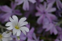 white and purple (Håkan Jylhä (Thanks for +1000000 views)) Tags: white flower dof purple sweden sony lila blomma sverige håkan vit skärpedjup jylhä rx10iv