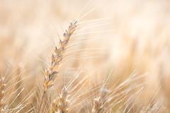 Prometteuse récolte....! - Promising harvest ....! (minelflojor) Tags: nature blé soleil récolte flou bokeh macro épi paille chaleur tige wheat sun harvest blur spur straw heat rod tamronsp90mmf28dimacro11vcusd curve macromondays