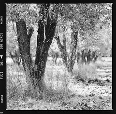 Moraga Orchard (Graham Gibson) Tags: hasselblad 503cx 500 series v system film medium format 120 6x6 fuji fujifilm acros 100 bw black white