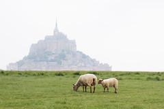 Moutons de pré salé (Michel Couprie) Tags: europe france normandy normandie montsaintmichel moutons agneau sheep canon eos couprie grass ef50mmf12l
