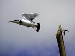 Pied Kingfisher, Mabamba Swamp, Uganda (Fredrik Klingberg) Tags: wildlife swamp africa uganda birds kingfisher