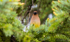 Cedar Waxwing (idvisions) Tags: wildlife explore thewonderfulworldofbirds outdoor bird birds cedarwaxwing canoneos7d canon7dmarkii canon