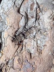Acanthocinus griseus (kahhihou) Tags: taxonomy:kingdom=animalia animalia taxonomy:phylum=arthropoda arthropoda taxonomy:subphylum=hexapoda hexapoda taxonomy:class=insecta insecta taxonomy:subclass=pterygota pterygota taxonomy:order=coleoptera coleoptera taxonomy:suborder=polyphaga polyphaga taxonomy:infraorder=cucujiformia cucujiformia taxonomy:superfamily=chrysomeloidea chrysomeloidea taxonomy:family=cerambycidae cerambycidae taxonomy:subfamily=lamiinae lamiinae taxonomy:tribe=acanthocinini acanthocinini taxonomy:genus=acanthocinus acanthocinus taxonomy:species=griseus taxonomy:binomial=acanthocinusgriseus acanthocinusgriseus