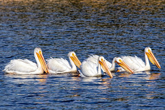 Working for the Weekend (edmason88) Tags: pelicans cruising theweekend tamron150600 strathconacounty alberta canada
