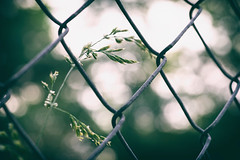HFF Y'all! (Sarah Rausch) Tags: fence chainlink weed fencefriday bokeh sony