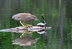 Juvenile Black-Crowned Night Heron and friend (Meryl Raddatz) Tags: heron blackcrownednightheron turtle log water nature naturephotography canada lake