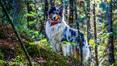 My Forest, My Rulez 🐶🌴 (Esa Suomaa) Tags: suomi finland trees trail dogs collie roughcollie bluemerle trial path helsinki woods olympusomd
