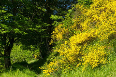 Balade aux Bouches d'Aula (Ariège) (PierreG_09) Tags: ariège pyrénées pirineos couserans occitanie midipyrénées montagne aula sentier gr genêt flor flore fleur plante bouchesdaula