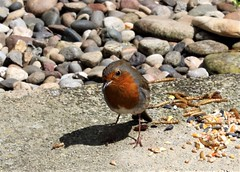Little robin (Martellotower) Tags: robin garden bird