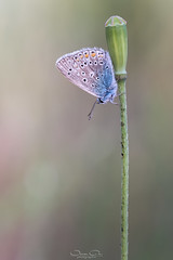 Bläuling HF (oliver r.) Tags: fuji fujixt3 xt3 canon canon100mm canon100mmlisusm macro makro nature natur insect insekt wildlife outdoor bläuling schmetterling butterfly falter abendlicht