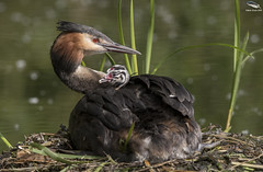 Great Crested Grebe & Chick (Mick Erwin) Tags: greatcrestedgrebe great crested grebe chick nest