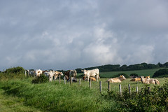 Scattered Showers (Shastajak) Tags: fencefriday fence bullocks bovine cows morning clouds