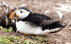 Puffin (Fratercula arctica) (Jeff Derbys) Tags: puffin fraterculaarctica farneislands