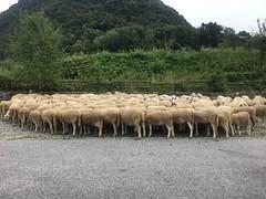 Sheeps (Marcello Consolo) Tags: