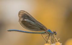 Kisasszony-szitakötő (Calopteryx virgo) (Torok_Bea) Tags: kisasszonyszitakötő calopteryxvirgo szitakötő dragonfly nikon nikond7200 natur nature wonderful wild wildanimal wildlife amazing awesome beautiful macro aggtelekinemzetipark libèl·lula laumžirgis conchuồnchuồn yusufçuk λιβελούλα