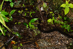 Mountain Water Snake 1 (Bob Hawley) Tags: asia taiwan nikond7100 nature nantoucounty wujie nighttime nocturnal reptiles herpetology animals wildlife nikon28105mmf3545afd sinonatrixpercarinatasuriki easternwatersnake mountainwatersnake blackwatersnake endemicsubspecies water streams