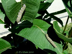 Two For The Price of One (Picsnapper1212) Tags: monarch butterfly caterpillars caterpillar larvae larva insect animal nature milkweed plant nativewildflower flower lebanonohio lebanon ohio
