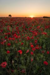 Mohn im Gegenlicht der aufgehenden Sonne (Pfalzknipser) Tags: gäu landschaft lichtstimmung mohn sonnenaufgang wiese