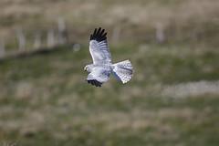 Right place right time (Chris B@rlow) Tags: henharrier circuscyaneus harrier birdofprey northuist scotland balranald rspb rspbreserve canon7dmarkii sigma150600sport westernisles outerhebrides bird birdinflight
