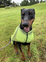 Dobermann Pinscher Saxon (firehouse.ie) Tags: hund perro pero chien animals animal dogs dog saxon k9 boy male pinschers pinscher dobermanns dobermann dobermans doberman dobeys dobey dobies dobie dobes dobe