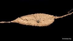 Harvestman, Nomoclastidae, Opiliones (Ecuador Megadiverso) Tags: andreaskay arachnida ecuador harvestman nest nomoclastidae opiliones paternalcare sumakkawsayinsitu