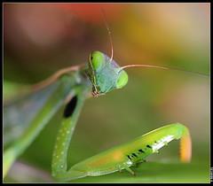 Mante religieuse (boblecram) Tags: mante mantis religieuse mantidae orthoptéroïde