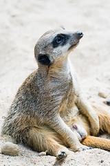 Sitzendes Erdmännchen (sebalehm) Tags: deutschland gettorf manmade natur ort stadt tier tierpark