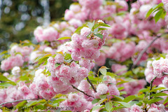 Cheery blossom explosion (Diane Meade-Tibbetts) Tags: bloom blooming bokeh cherryblossom flora flowers pinkflowers spring tree