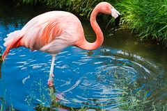 Flamingo (sebalehm) Tags: deutschland flamingo gettorf manmade natur ort stadt tier tierpark vogel