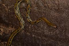 Climbing Beauty Snake (Bob Hawley) Tags: asia taiwan nantoucounty nocturnal nikond7100 nighttime nikon28105mmf3545afd shuilitownship animals wildlife nature creatures herpetology reptiles taiwanbeautysnake orthriophistaeniurusfriesi tunnels water hunting