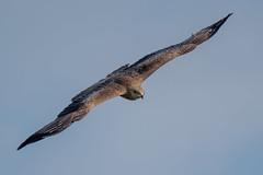 D50_1900_Bussrd Schrägflug_5_2019 (Glaser52) Tags: ein mäusebussard im schrägen anflug abendlicht wildleben vögel greifvögel d500 sigma s 150600