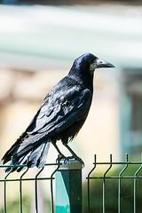 Krähe auf Zaun (sebalehm) Tags: deutschland gettorf kraehe manmade natur ort stadt tier tierpark vogel