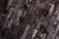 Nursing Bats 3 (Bob Hawley) Tags: asia taiwan nantoucounty nocturnal nikond7100 nighttime nikon28105mmf3545afd shuilitownship animals wildlife nature creatures formosanleafnosedbats maternitycolony hipposiderosarmigerterasensis endemicsubspecies tunnels pups juvenile