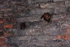 Nursing Bats 2 (Bob Hawley) Tags: asia taiwan nantoucounty nocturnal nikond7100 nighttime nikon28105mmf3545afd shuilitownship animals wildlife nature creatures formosanleafnosedbats maternitycolony hipposiderosarmigerterasensis endemicsubspecies tunnels pups juvenile