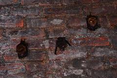 Nursing Bats 1 (Bob Hawley) Tags: asia taiwan nantoucounty nocturnal nikond7100 nighttime nikon28105mmf3545afd shuilitownship animals wildlife nature creatures formosanleafnosedbats maternitycolony hipposiderosarmigerterasensis endemicsubspecies tunnels pups juvenile