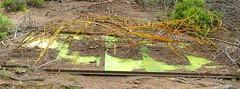 Tiger im Wald - Hornisgrinde-Wanderung (Schwarzwald / Black Forest)) (thobern1) Tags: hornisgrinde schwarzwald blackforest foretnoir germany nordschwarzwald