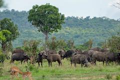 Африканский буйвол, Syncerus caffer, African Buffalo (Oleg Nomad) Tags: африка танзания микуми сафари парк africa tanzania mikumi park safari travel африканскийбуйвол synceruscaffer africanbuffalo