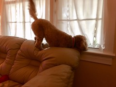 Dolce loves the back of the couch