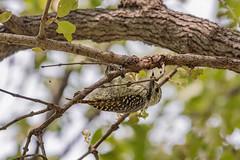 Кардинальский саванный дятел, Dendropicos fuscescens hartlaubii, Cardinal Woodpecker (Oleg Nomad) Tags: кардинальскийсаванныйдятел dendropicosfuscescenshartlaubii cardinalwoodpecker птицы замбия африка bird aves africa zambia luangwa