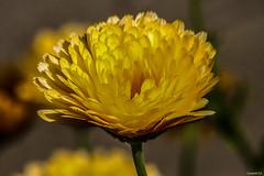 Flower (vostok 91) Tags: vostok91 canon canonef70300mmf456isusm eos40d fleur flower jaune yellow bokeh