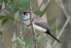 Double-barred Finch (Taeniopygia bichenovii) (Gavin Edmondstone) Tags: taeniopygiabichenovii doublebarredfinch bird finch queensland australia
