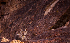 Chidago Petrogyphs (blmcalifornia) Tags: petroglyphs fox wildlife animal wild life petroglyphdrive volcanictableland volcanic tableland