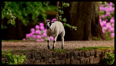 🐑 Strolling along 🐑 (pitkin9) Tags: countrysidescene lamb lakeside rhododendrons england