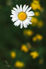 daisy (englishgolfer) Tags: daisy buttercups flower nikon d7500 tamron 70200mm
