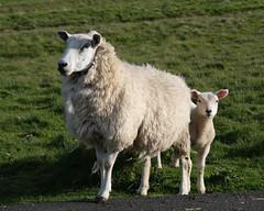 Lambing season (paul indigo) Tags: paulindigo yorkshire colour ewe family farm field grass lamb landscape sheep