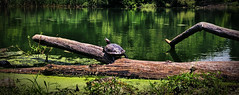 Turtle in Prospect Park Wide (Alexander H.M. Cascone [insta @cascones]) Tags: nyc newyorkcity newyork ny brooklyn nature flora natural plant tree prospect park prospectpark city water lake turtle animal wildlife shell log algae reflection sunny day sunnyday reptile sunning branch