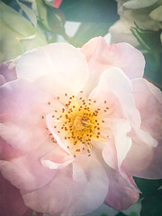 Pretty pink rose (judy dean) Tags: judydean 2019 iphone rose texture ps single flower stamens scented palestpink 365the2019edition 3652019 day165365 14jun19 coth coth5