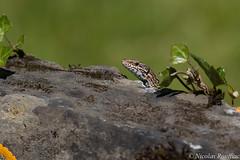 Lizard (Nicolas Rouffiac) Tags: lizard lézard reptile animal macro nature grey gris